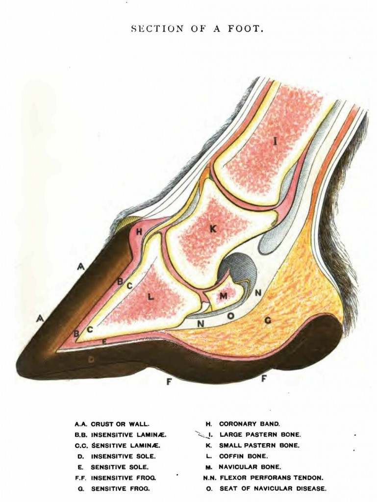 labeled cross-section drawing of normal horse hoof and leg below fetlock