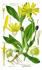 Arnica montana botanical illustration