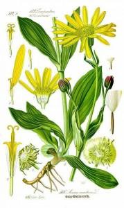 Arnica montana botanical illustration