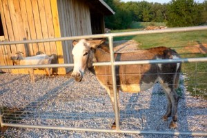 young donkey gelding