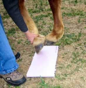 Place the horse's hoof on the foam board.