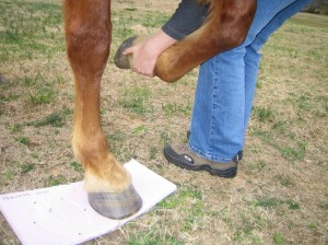 Using foam board to measure for hoof boots
