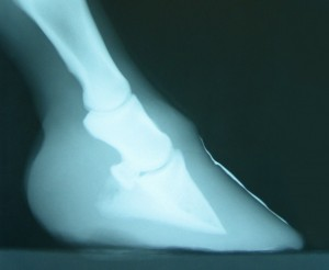 X-Ray of a foundered horse hoof